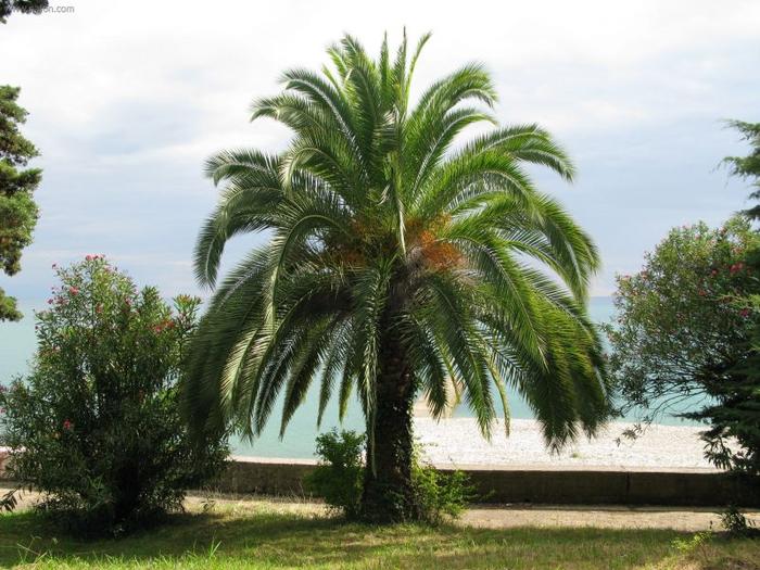 пальма 3 (700x525, 383Kb)