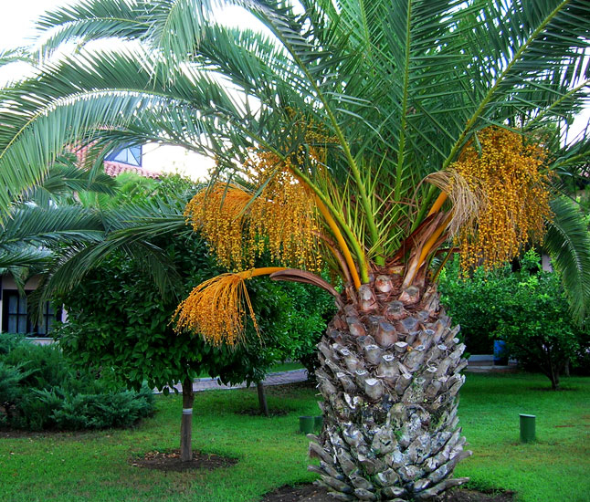 пальма 5 (646x550, 525Kb)