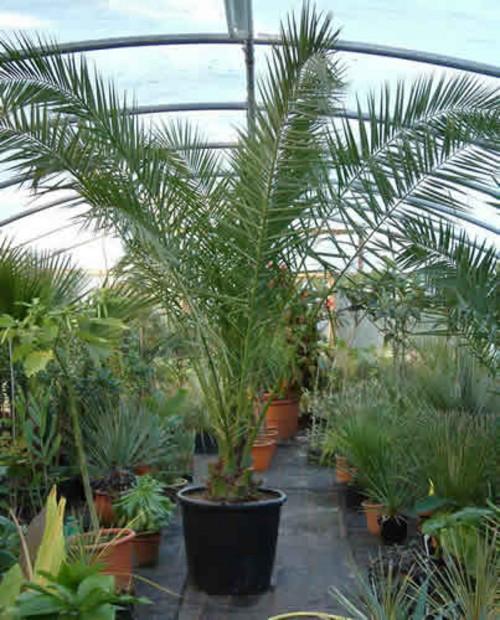 пальма 7 (500x620, 296Kb)