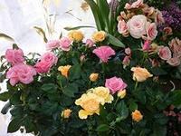 роза (200x150, 32Kb)