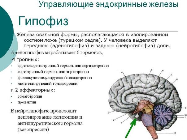 все какие гормоны вырабатывает головной мозг делать, если расстался