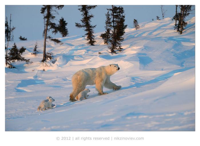 медведи-медвежата-белая медведица. Фото (с) Николай Зиновьев (700x513, 129Kb)