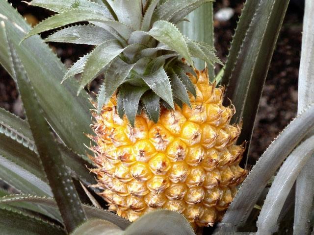 Ananas (640x480, 233Kb)