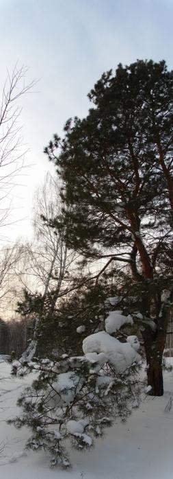 Снег привалил ветку сосны/1415502_Panorama_bez_nazvaniya1_kopiya (253x700, 149Kb)