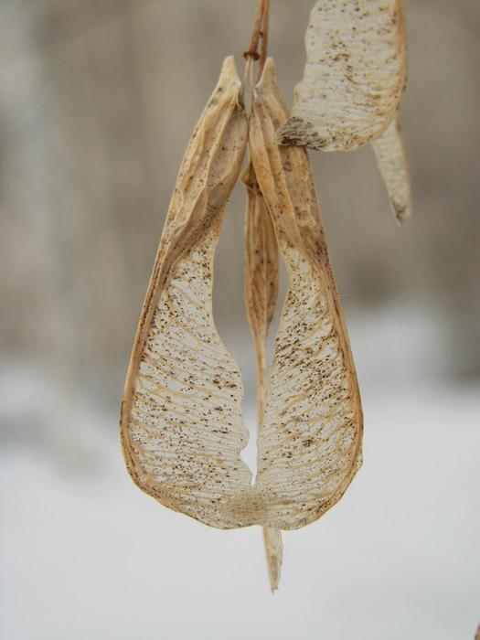 Семена клена/1415502_klen_chetkii (525x700, 94Kb)