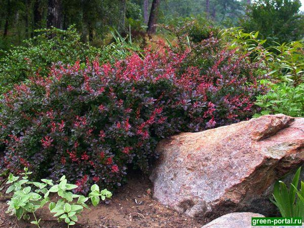 Сорта барбариса увидеть и посадить