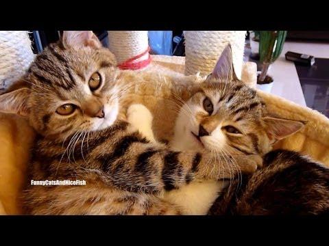 день влюбленных кошки