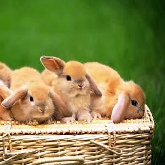 кролики (341x341, 39Kb)