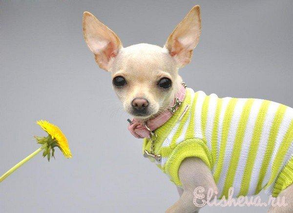 Вязание для собак мини.