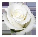 3314741_Belaya_roza (150x145, 30Kb)