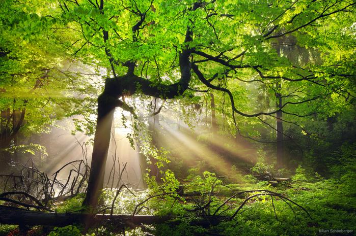 baum-nebel-sonne-strahlen-licht (700x465, 640Kb)