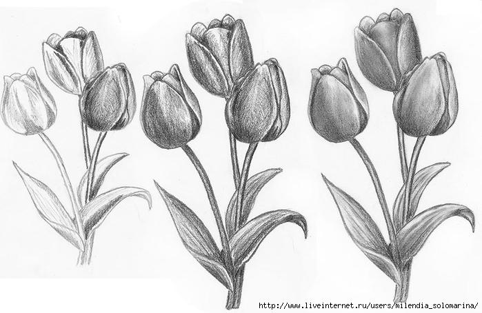 tulip (700x454, 186Kb)