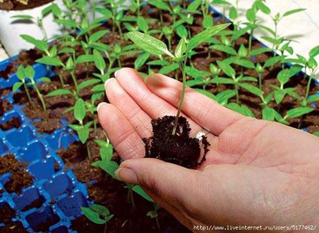 Когда сажать рассаду перца, помидоров и других овощных культур!/5177462_original_2_ (640x468, 210Kb)