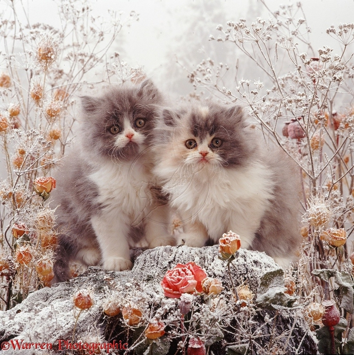 08192-Kittens-among-snowy-flowers (698x700, 450Kb)