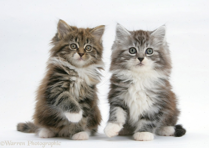 23622-Maine-Coon-kittens-8-weeks-old-white-background (700x497, 201Kb)