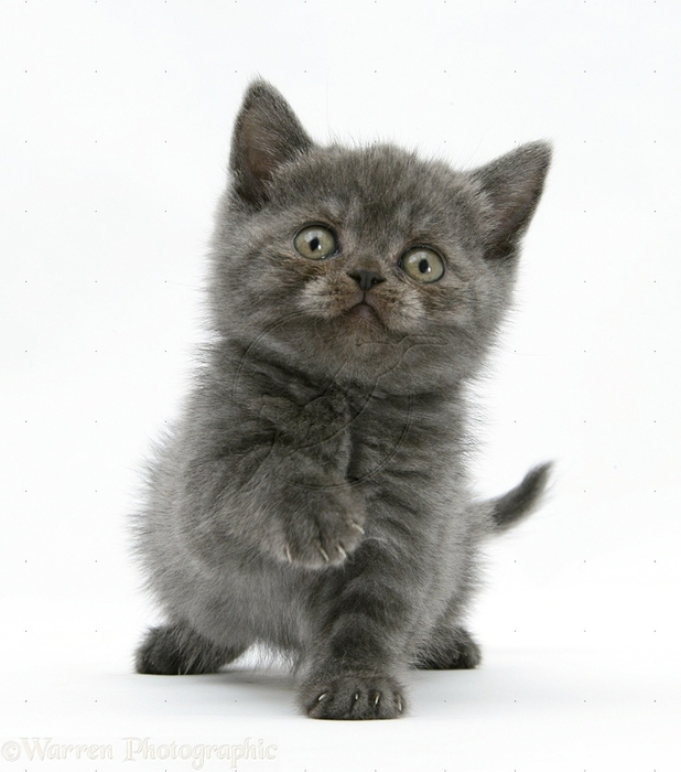 26676-Grey-kitten-sitting-with-raised-paw-white-background (618x700, 219Kb)