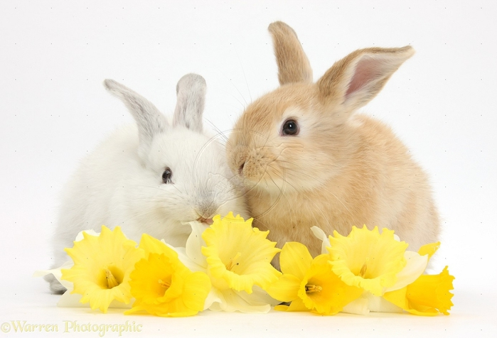 33871-Young-rabbits-with-daffodils-white-background (700x476, 169Kb)