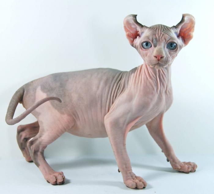 порода кошек эльф фото (700x636, 261Kb)
