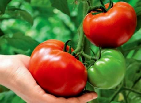 томат-крупноплод (460x334, 32Kb)