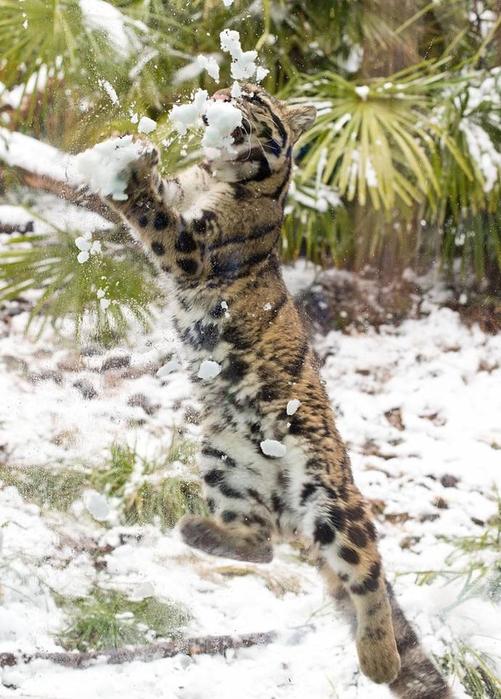 дымчатый леопард фото 7 (501x700, 389Kb)