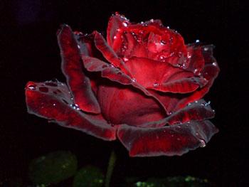 роза (350x263, 33Kb)