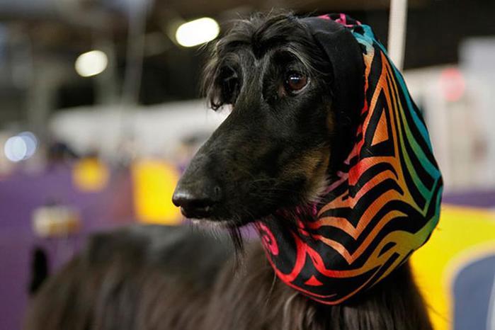 Фото. Выставка собак Westminster Kennel Club 2014