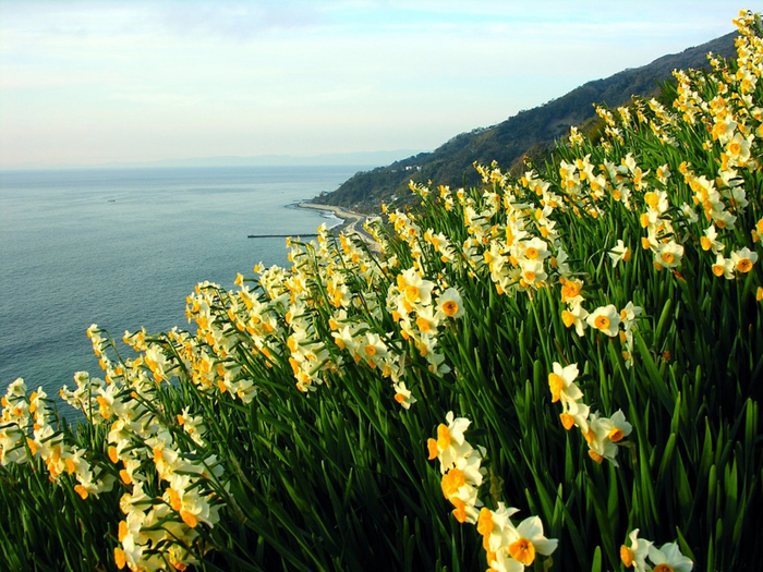 Daffodils-Wallpapers-11 (700x525, 437Kb)
