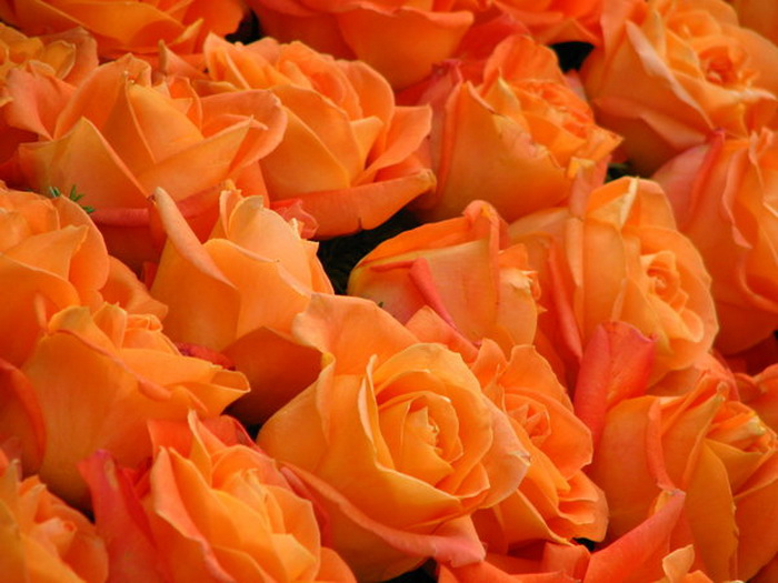 1379856780_2_FT4246_1268435736_31105261_1219545948_orange_roses_by_melloncollieba (700x525, 327Kb)