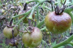 tomaty_bolezni_i_vrediteli (250x167, 12Kb)