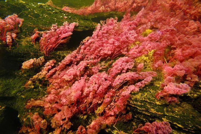 река пяти цветов колумбия фото 14 (700x467, 558Kb)