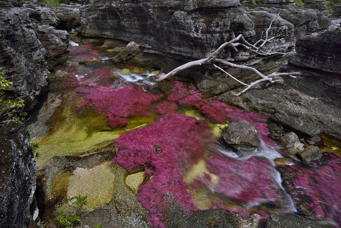 река пяти цветов колумбия фото 16 (700x467, 450Kb)