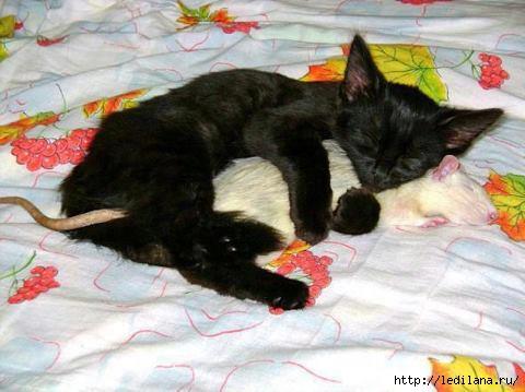 животные сон кот и мышь (480x359, 98Kb)