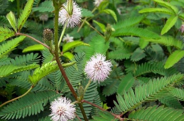 Mimosa pudica (600x394, 102Kb)