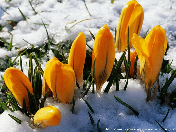 Yellow-flowers-in-snow-Wallpaper__yvt2 (680x510, 220Kb)