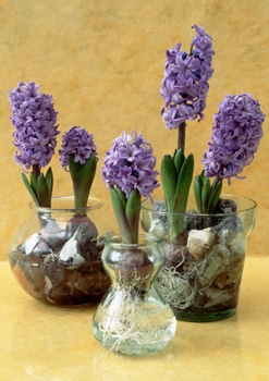 hyacints (247x350, 102Kb)