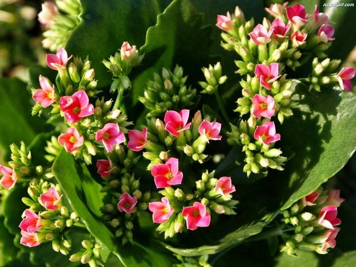 kwiat-kalanchoe-rozowy-1 (700x525, 236Kb)