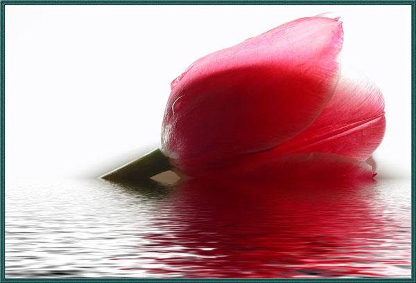 52412921_tulip (600x409, 66Kb)