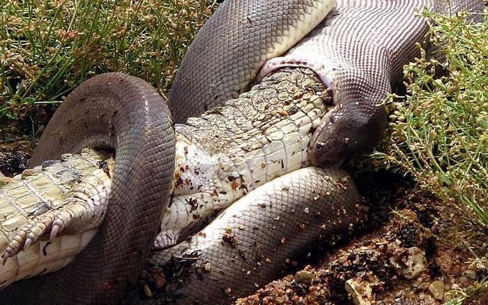 Змея заглатывает крокодила