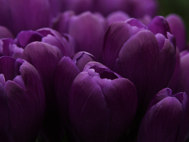Nature_Flowers_Lilac_buds_of_tulips_028090_29 (640x480, 185Kb)