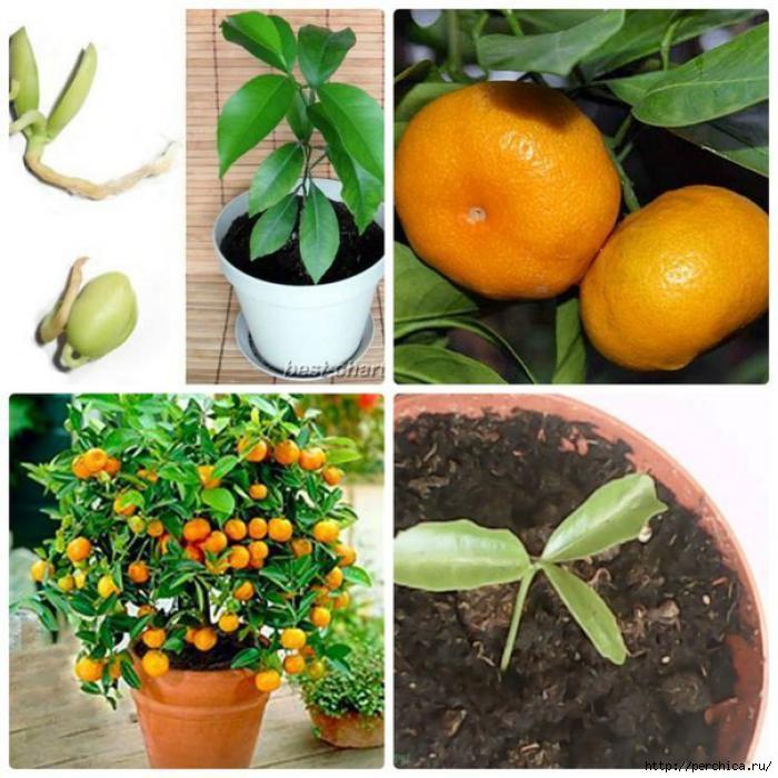 Вырастить дома мандарин из косточки в домашних условиях
