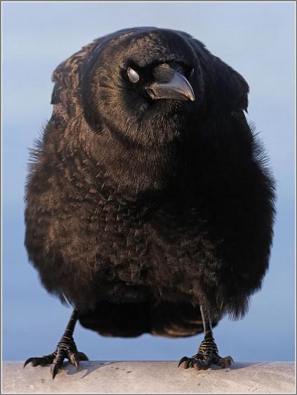 20121221-152341-Crow-at-Jack-Block-Park-640x850-e1358855877900 (423x561, 55Kb)