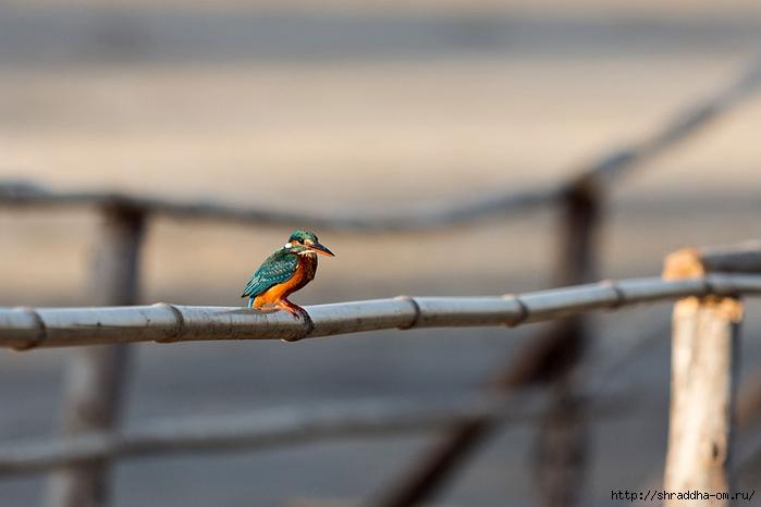 India Goa 2014, ptichka (2) (700x466, 138Kb)