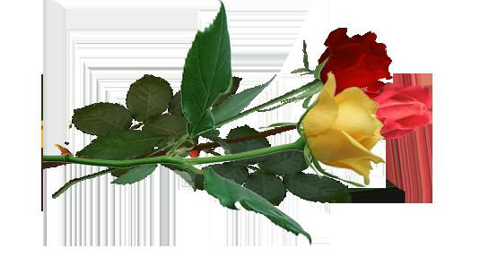 три цветка  лежа (545x296, 134Kb)