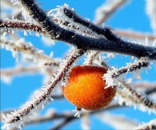 Яблоки в снегу (540x453, 80Kb)