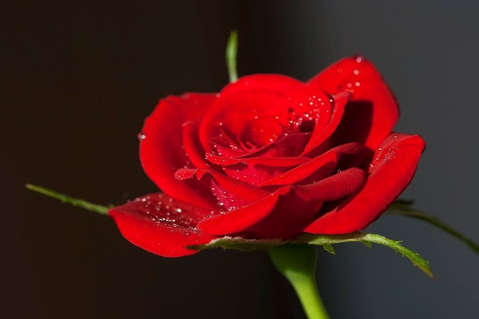 3303834_Rose_1 (700x466, 34Kb)