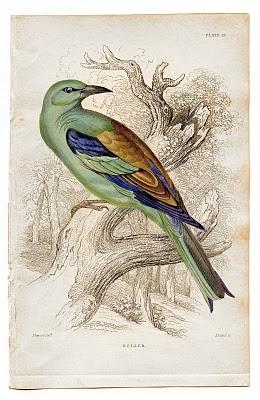 birdcolorfulgfairy006b (260x400, 95Kb)