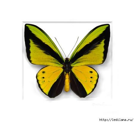 Christopher Marley бабочки9 (453x412, 64Kb)