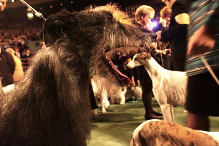 «Олимпиада для собак». Фотографии выставки Westminister Kennel Club 2014