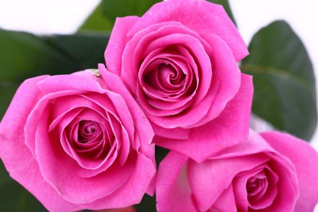 как вырастить розу из букета черенка/4682845_590_21 (640x426, 39Kb)