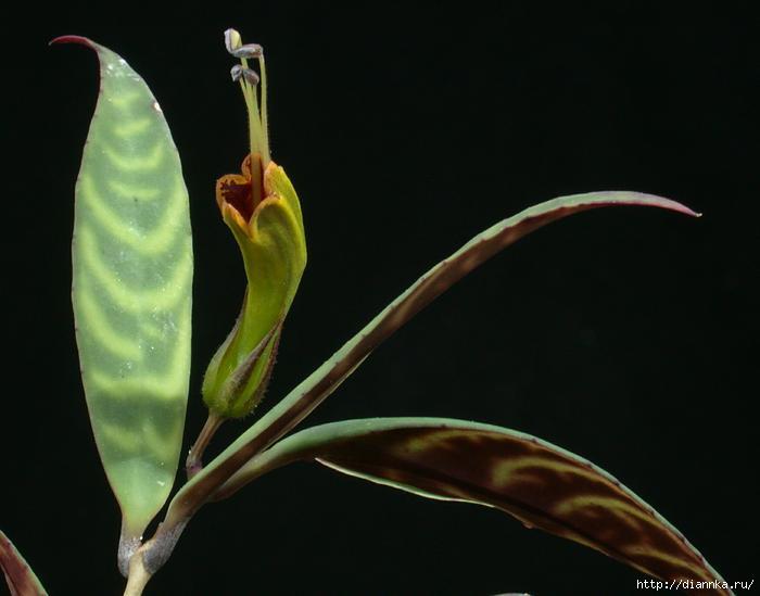 1838_Aeschynanthus longicaulis_Brothers_SI 96-109 (700x549, 73Kb)
